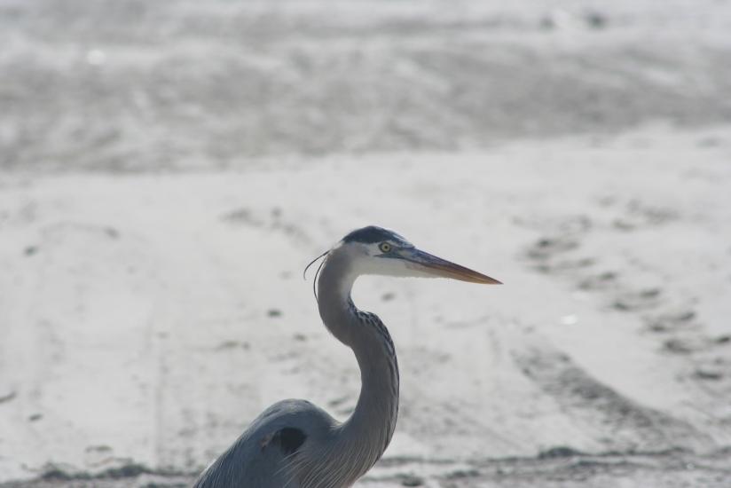 The Great Blue HeronStalker
